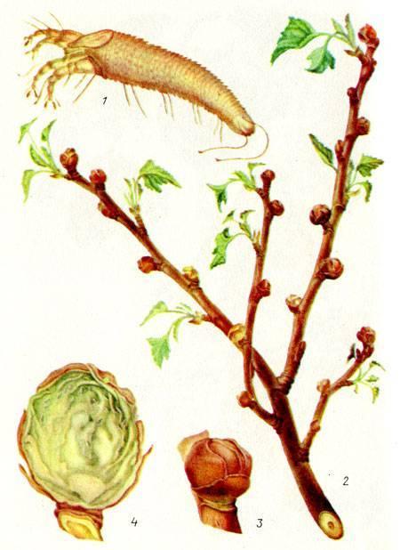 Смородиновый почковый клещ: что необходимо сделать весной, чтобы защитить свой урожай?