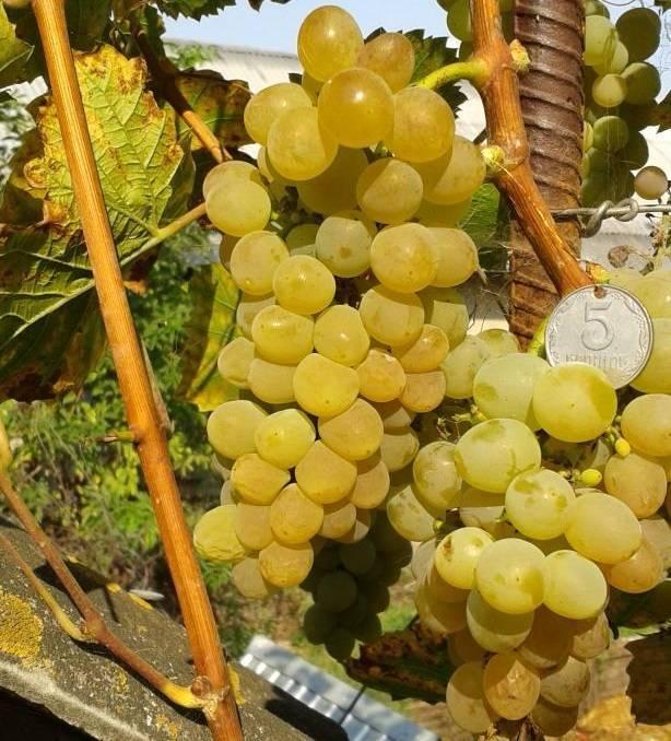 Виноград «кристалл»: характеристика и описание