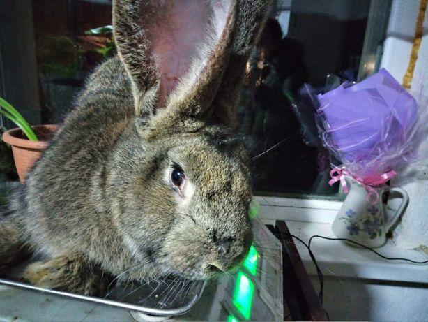 Львиноголовый кролик: главные особенности и описание породы
