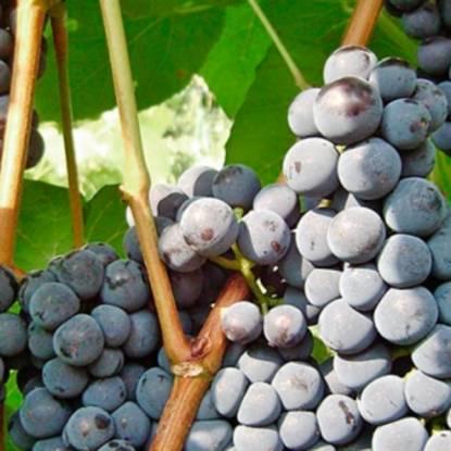 Виноград зилга: особенности и характеристики сорта. отзывы виноградарей и садоводов