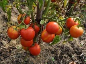 Кистевые томаты: сорта с фото, описанием и отзывами