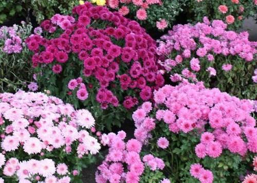 Хризантема садовая — википедия переиздание // wiki 2