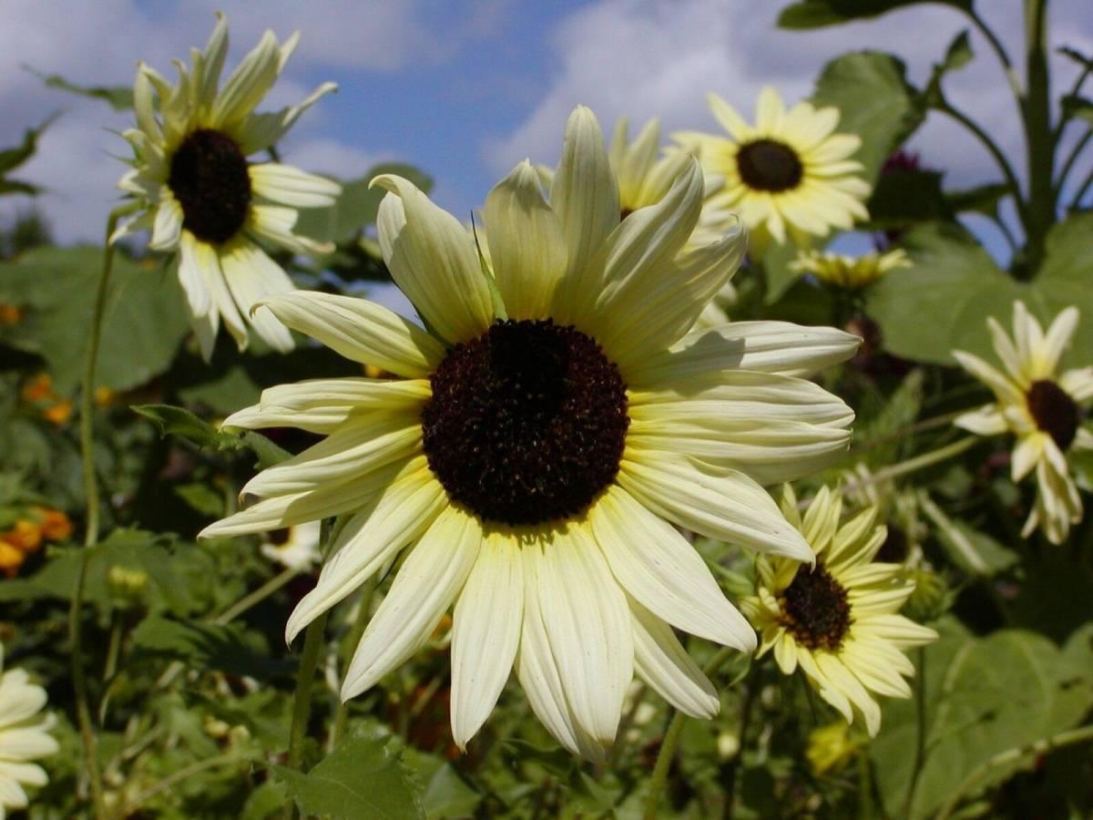 10 способов использования подсолнечника в оформлении сада