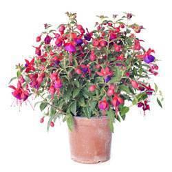 Вечнозеленый кустарник фуксия: выращивание в домашних условиях и уход за растением