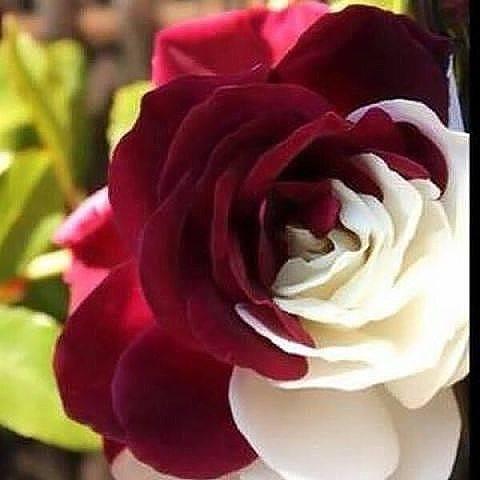 Как правильно называются мелкие розы: описание и фото популярных сортов