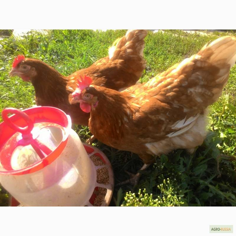 Курица — виды и породы