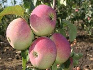 Сорт яблони ветеран: описание и фото, основные характеристики и особенности выращивания
