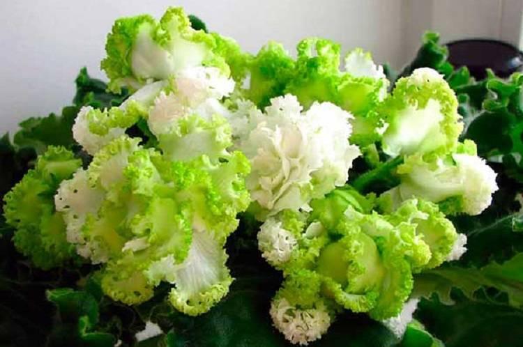 Фиалка ледяная роза — описание и характеристика