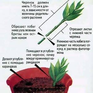 Как размножить хризантему черенками в домашних условиях