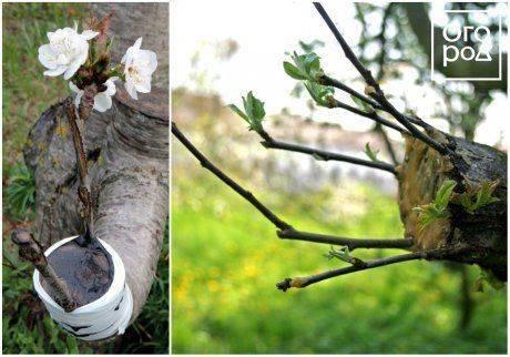 Прививка плодовых деревьев за кору – все, что надо знать садоводу