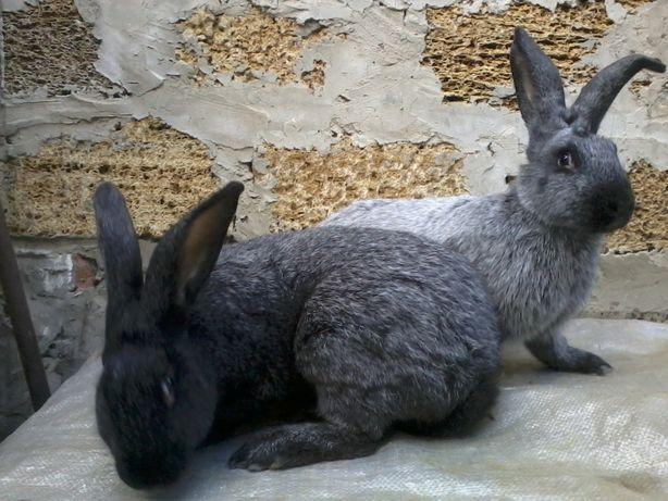 Кролики породы серебро (31 фото): характеристика разновидностей породы серебро: полтавское и советское, светлое большое и европейское. особенности ухода и питания