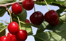Как отличить вишню от черешни на рынке. чем отличается вишня от черешни? полезные свойства плодов