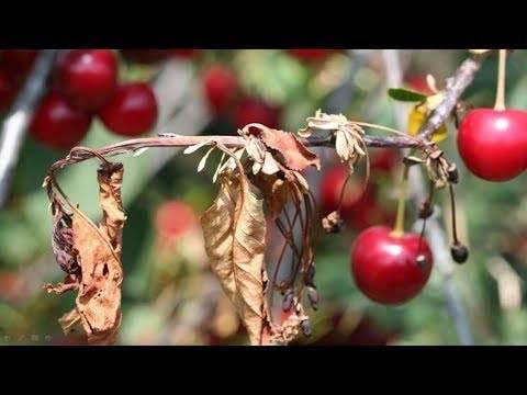 Коккомикоз и монилиоз вишни – причины заболеваний и методы лечения