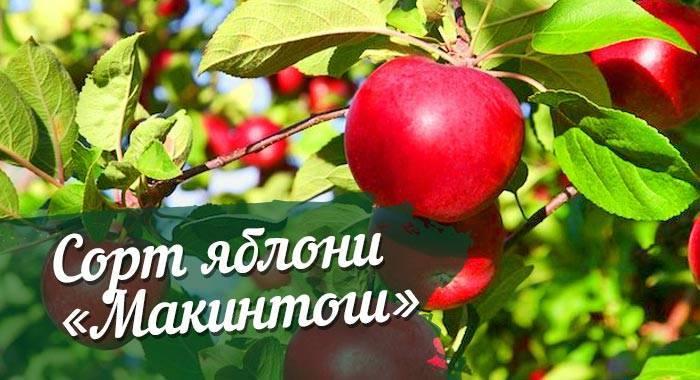 Макинтош (сорт яблони) — википедия переиздание // wiki 2