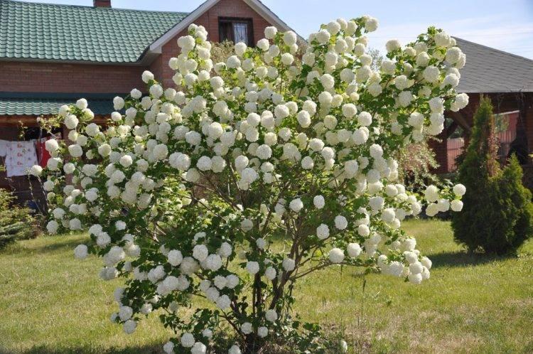 Калина бульденеж – описание, посадка, уход и размножение