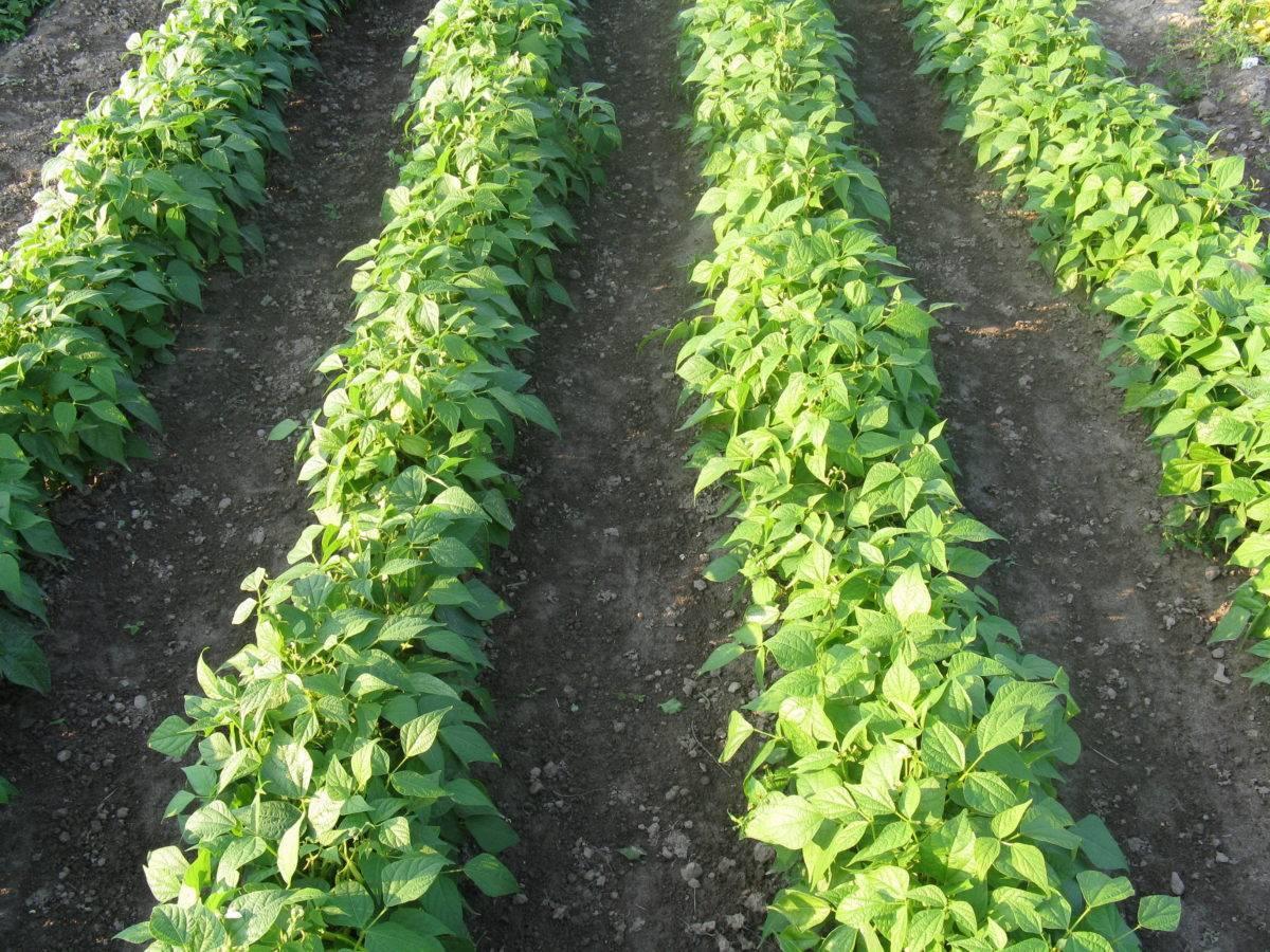 Фасоль стручковая: выращивание и уход
