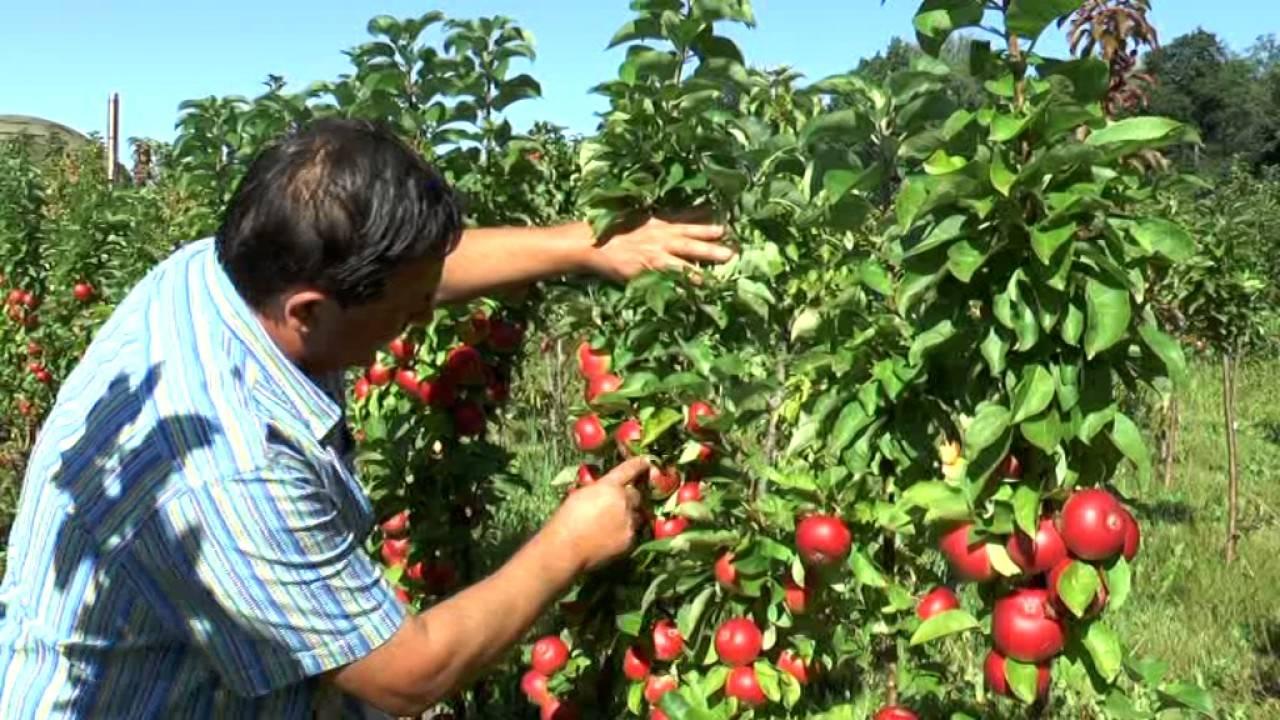 Правильный уход за колоновидными яблонями