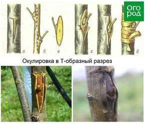 Прививка плодовых деревьев осенью — пошаговые технологии