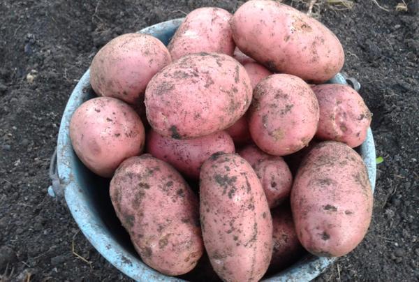 Картофель ред скарлет - характеристика и описание сорта, агротехника выращивания