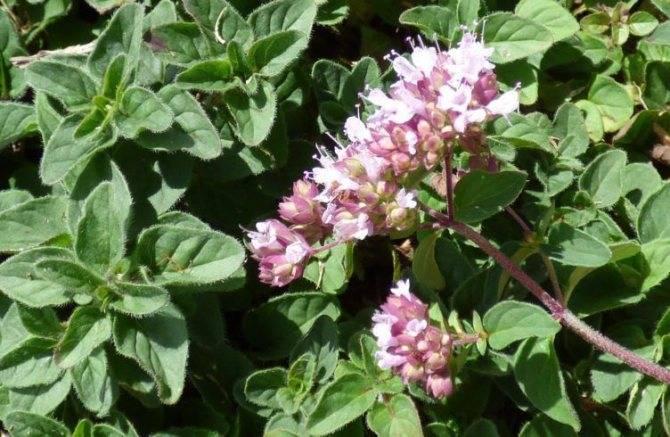 Душица обыкновенная: фото, описание, выращивание и уход