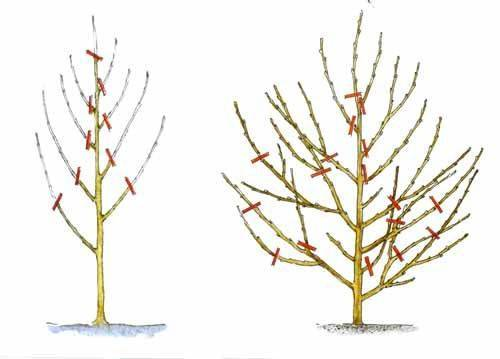 Как правильно обрезать персик осенью: схема для начинающих