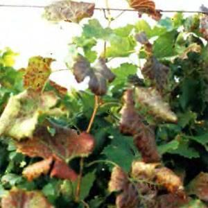По каким причинам у винограда могут скручиваться листья?
