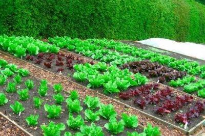 Как правильно посадить и вырастить капусту