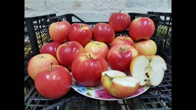 Зимний морозостойкий сорт яблони лигол