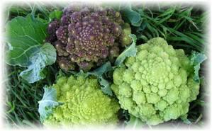 О сортах брокколи: какие бывают разновидности, сорта для средней полосы