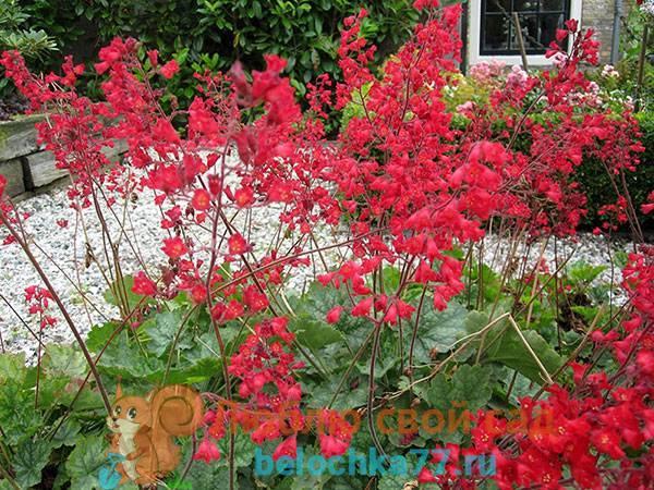 Гейхера кроваво-красная: описание, сорта, рекомендации по выращиванию