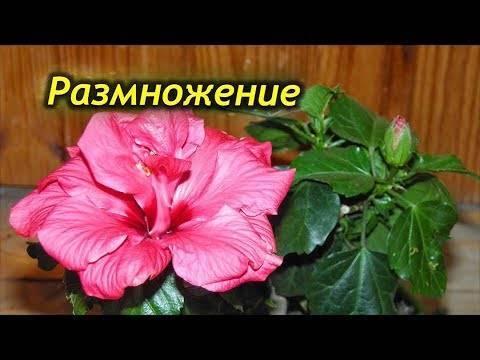 Гибискус (67 фото): что это такое? уход за китайской розой в домашних условиях. как выглядит «цветок смерти» и как готовить его к зиме?