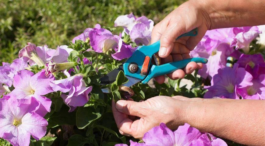 О выращивании рассады петунии подробно