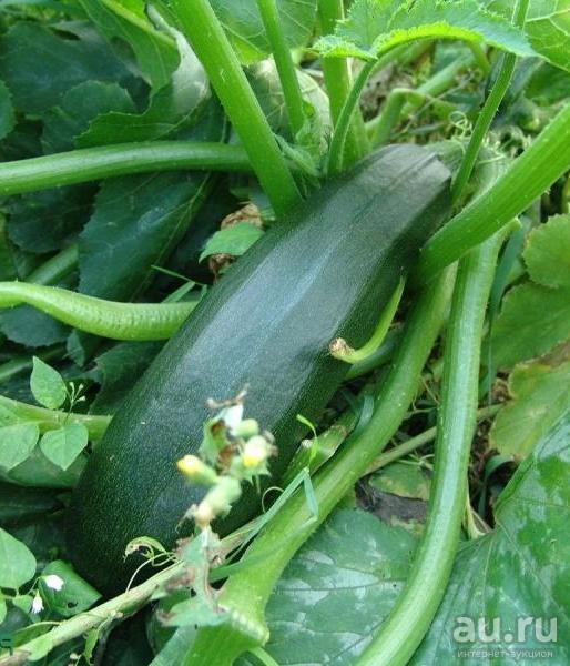 27 лучших сортов кабачков цукини и особенности выращивания в открытом грунте