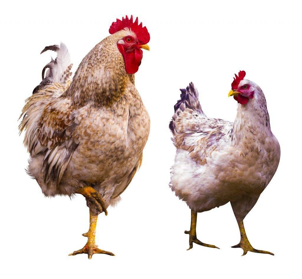 Что делать если курица хромает на одну ногу