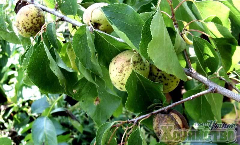 Болезни и вредители персика и борьба с ними