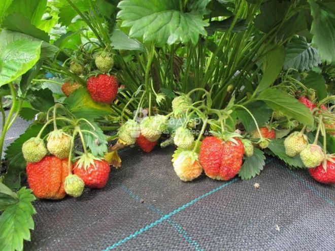 Клубника зефир: описание сорта, отзывы садоводов, посадка и уход