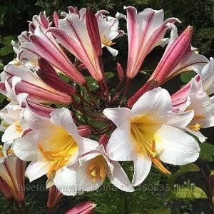 Азиатские лилии: фото, сорта, посадка и уход