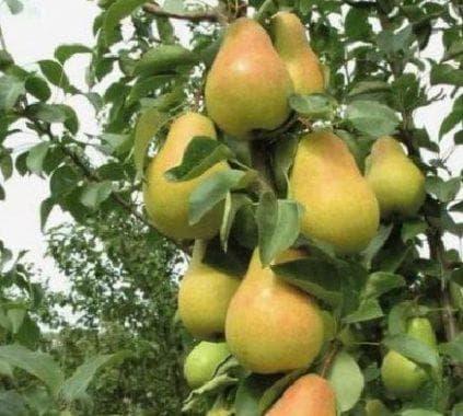 Особенности выращивания и ухода за колоновидной грушей сорта сапфира