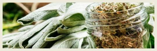 Шалфей – посадка и уход: особенности выращивания