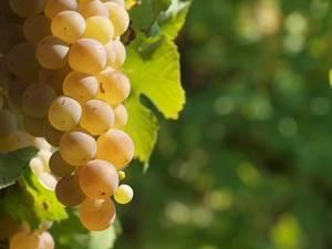 Где лучше и как правильно сажать виноград на участке