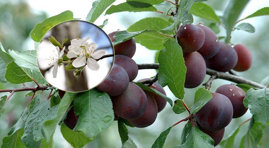 Что такое слива: это ягода или фрукт, дерево или кустарник, сколько лет живёт?