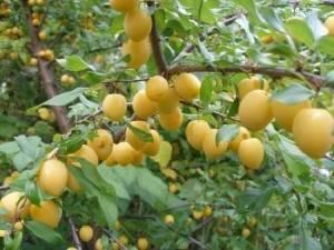 Слива «медовая белая»: описание сорта и агротехника выращивания