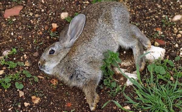 Чумка симптомы у кроликов лечение