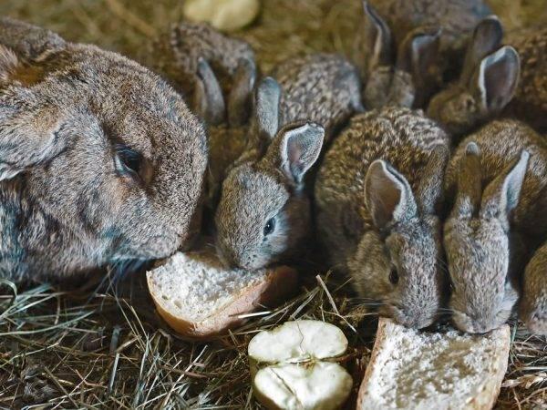 Можно ли кролику давать хлеб: польза и вред, как правильно добавлять в рацион