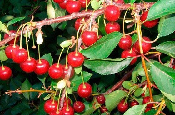 Сорта вишни. популярные сорта вишни - названия, фото. сорта вишни для подмосковья