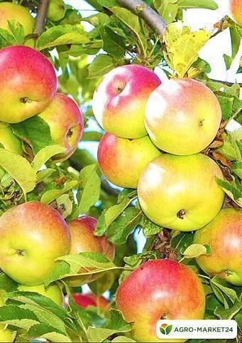Яблоня грушовка московская – 8 особенностей и 10 советов по посадке и уходу
