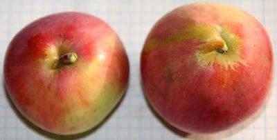 О яблоне Экранное, характеристики сорта, агротехника выращивания, урожайность