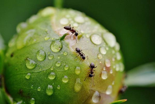 Как избавиться от муравьев на пионах: народные способы и химия для обработки