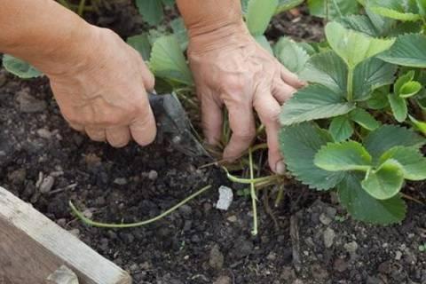 Когда пересаживать клубнику: подготовка почвы, правила пересадки