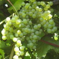 Виноград коринка русская